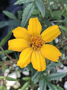 TAGETES lemmonii 'Compacta', Mexican Bush Marigold