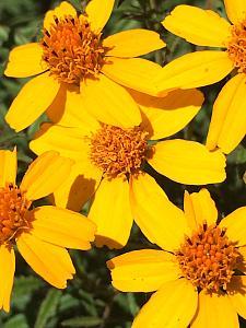 TAGETES lemmonii, Mexican Marigold, Mt. Lemmon Marigold