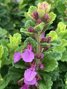 TEUCRIUM chamaedrys 'Summer Sunshine', Wall Germander