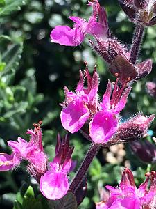 TEUCRIUM chamaedrys, Wall Germander