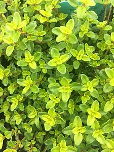 THYMUS x citriodorus 'Lime', Lime Thyme