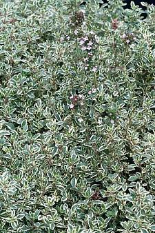 THYMUS x citriodorus 'Silver Edge', Silver Variegated Lemon Scented Thyme