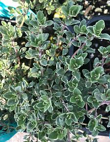 THYMUS vulgaris 'Argenteus' (Silver), Silver Thyme