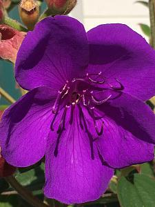 TIBOUCHINA urvilleana, Princess Flower, Purple Glory Bush