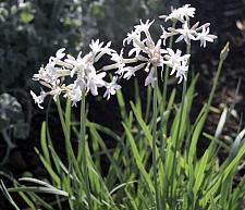 TULBAGHIA violacea 'Emerisa White' (formerly 'White'), Society Garlic
