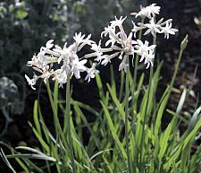 TULBAGHIA violacea 'Emerisa White' (formerly 'White'), Society Garlic