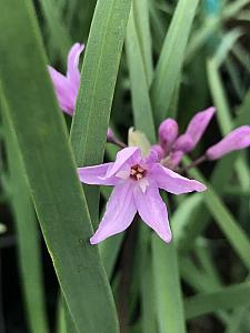 TULBAGHIA violacea, Society Garlic