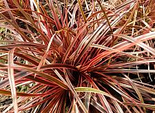 UNCINIA rubra 'Belinda's Find', Hook Sedge