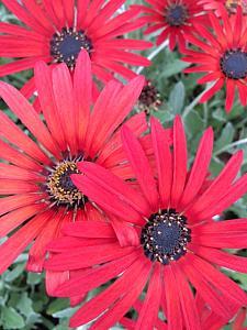 VENEDIO arctotis 'Killerton Red', syn. ARCTOTIS x hybrida 'Killerton Red'