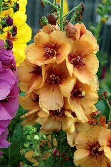 VERBASCUM 'Honey Dijon', Mullein