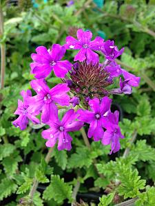 VERBENA canadensis 'Homestead Purple', Rose or Clump Verbena; Rose or Creeping Vervain