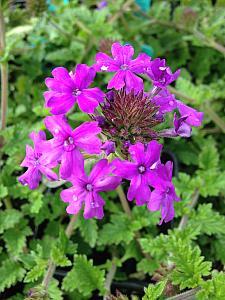 VERBENA canadensis 'Homestead Purple', Rose or Clump Verbena; Rose or Creeping Vervain