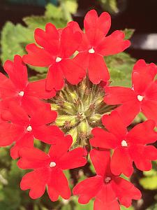 VERBENA canadensis 'Homestead Red', Rose or Clump Verbena; Rose or Creeping Vervain