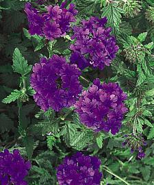 VERBENA hybrid Superbena 'Dark Blue', Superbena Verbena