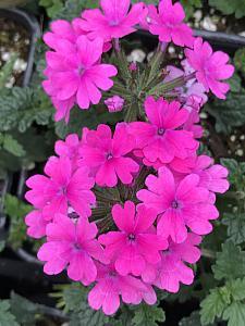 VERBENA hybrid Superbena 'Pink Shades', Superbena Verbena