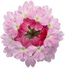 VERBENA hybrid Superbena 'Sparkling Rosé', Superbena Verbena