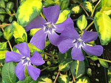 VINCA minor 'Illumination', Dwarf Periwinkle