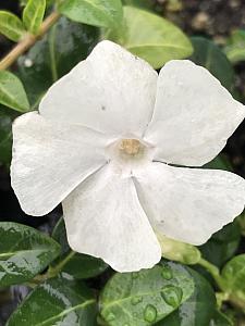 VINCA minor 'White', Dwarf Periwinkle