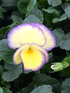 VIOLA 'Etain', English Viola