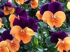 VIOLA cornuta' Penny Orange Jump-Up',