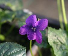 VIOLA odorata 'Royal Robe', Sweet Violet