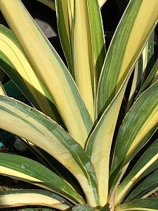 YUCCA filamentosa 'Color Guard', Adam's Needle, Spoonleaf Yucca
