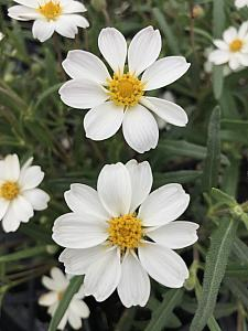 ZINNIA 'New White',