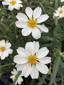 ZINNIA 'New White',