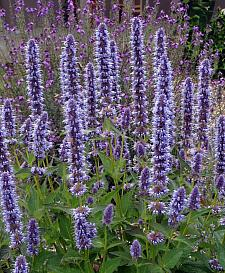 AGASTACHE 'Blue Fortune', Anise Hyssop