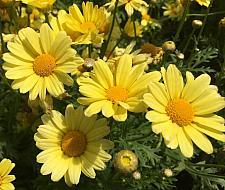 ARGYRANTHEMUM frutescens 'Beauty Yellow', Marguerite Daisy