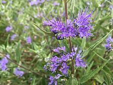 CARYOPTERIS x clandonensis 'Dark Knight', Blue Spirea or Bluebeard