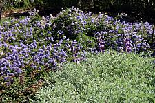 CEANOTHUS hearstiorum, Hearst's California Lilac