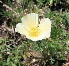 ESCHSCHOLZIA californica 'Buttermilk', California Poppy