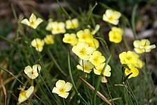 ESCHSCHOLZIA caespitosa 'Sundew', California Poppy