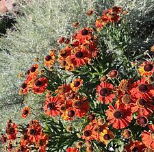 HELENIUM 'Mardi Gras', Helen's Flower