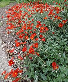 HELIANTHEMUM 'Henfield Brilliant', Sunrose