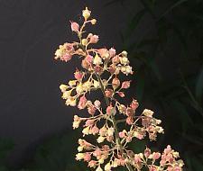 HEUCHERA maxima, Island Alum Root
