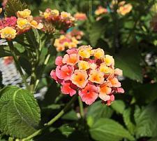 LANTANA montevidensis 'Confetti', Weeping or Trailing Lantana, Polecat Geranium