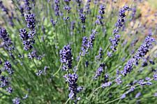 LAVANDULA angustifolia 'Hidcote', Hidcote Lavender