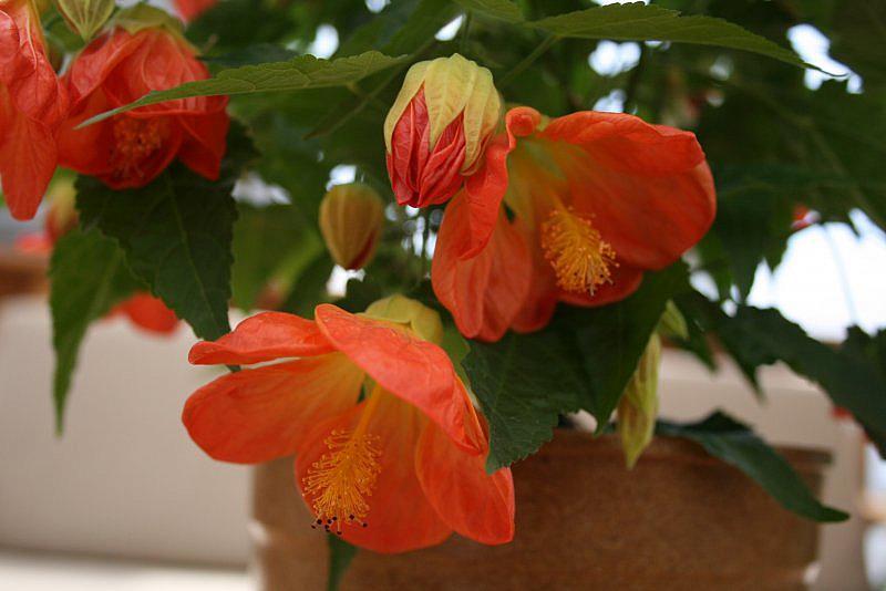 ABUTILON 'Lucky Lantern Tangerine', Dwarf Flowering Maple, Chinese Lantern