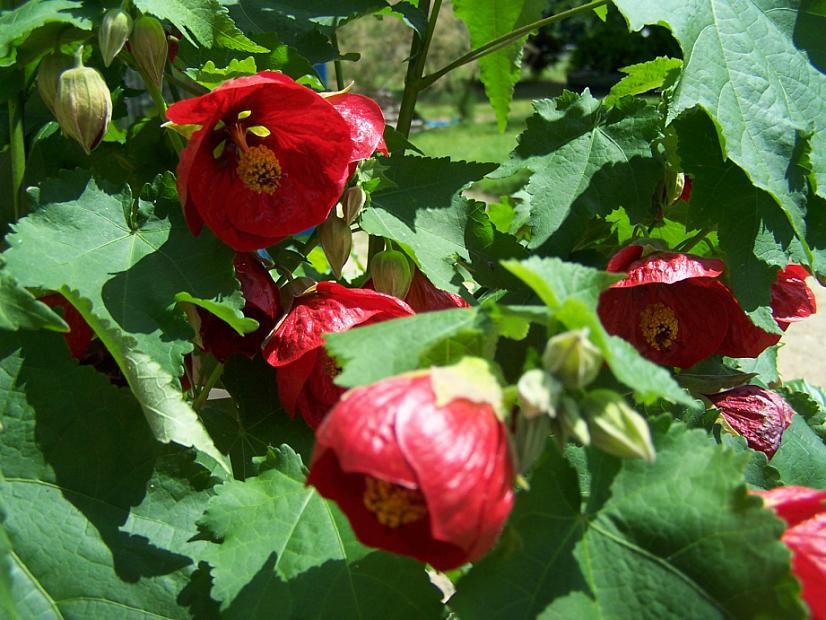ABUTILON x hybridum 'Nabob', Flowering Maple, Chinese Lantern