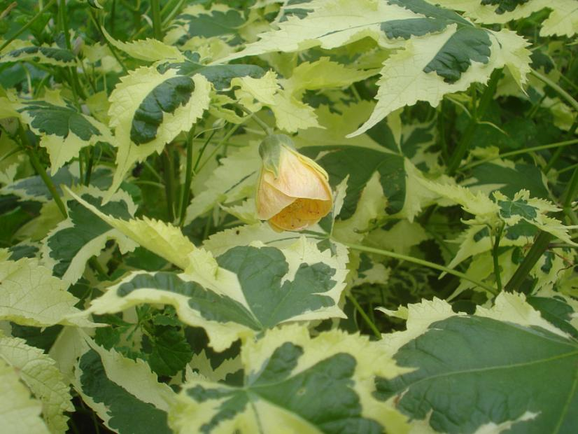 ABUTILON x hybridum 'Savitzii', Flowering Maple, Chinese Lantern