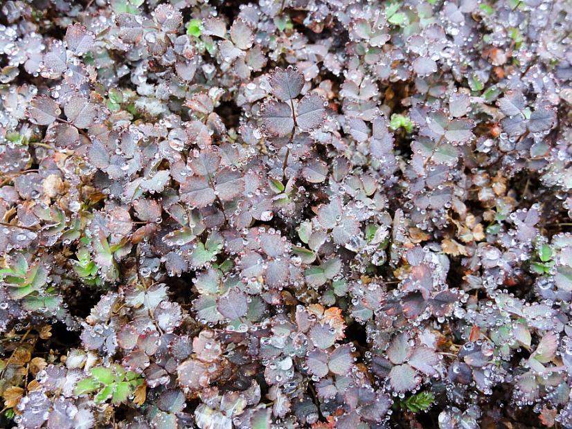 ACAENA inermis 'Purpurea', Purple New Zealand Burr, Purple Goose Leaf