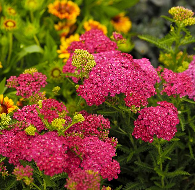 ACHILLEA millefolium 'Saucy Seduction', Seduction Series Yarrow