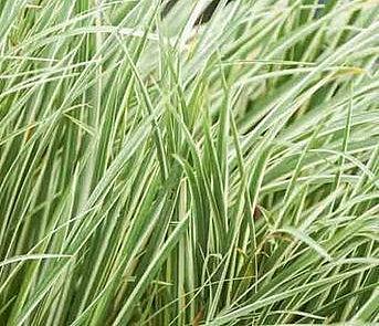 ACORUS gramineus variegatus, White Striped Japanese or Grassy Sweet Flag