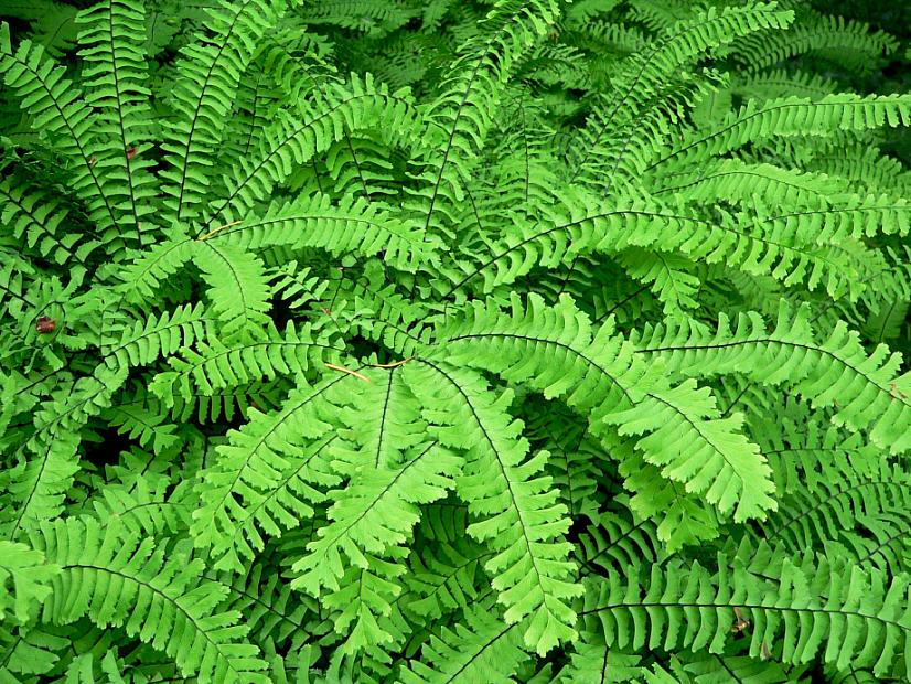 ADIANTUM pedatum, Five-Finger Fern, Western or American Maidenhair