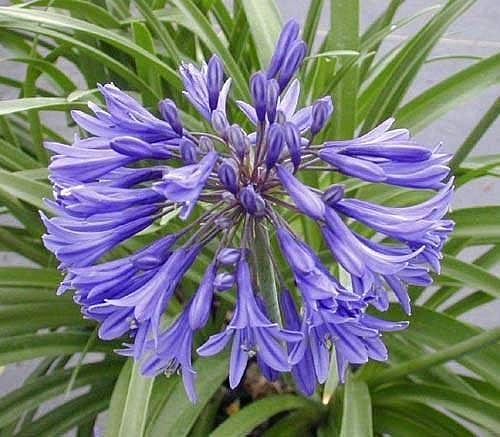 AGAPANTHUS 'New Blue' (syn. A. africanus 'New Blue'), Lily-of-the-Nile
