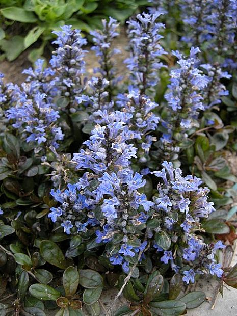 AJUGA reptans 'Chocolate Chip', Bugleweed