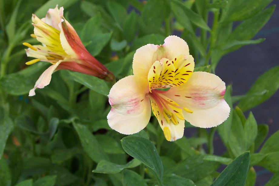 ALSTROEMERIA 'Creamsicle', Peruvian Lily, Butterfly Lily