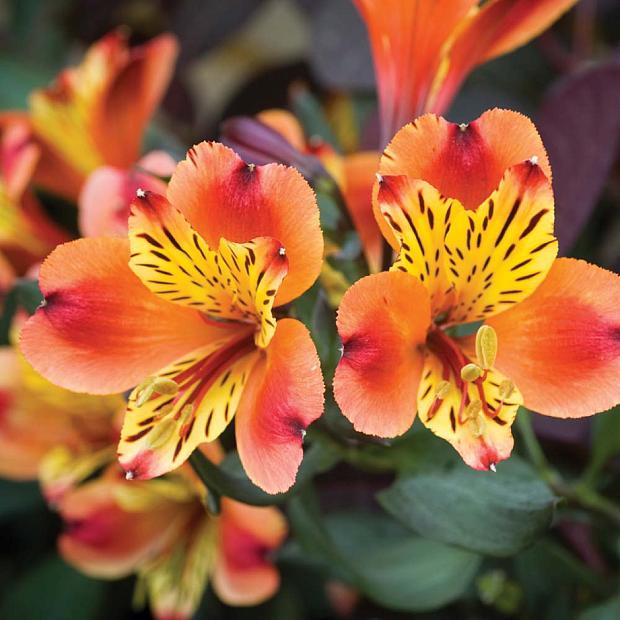ALSTROEMERIA 'Inticancha Indian Summer', Peruvian Lily